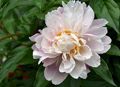 芍药养殖小诀窍 让花朵更娇艳