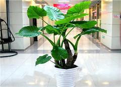 如何给大型盆栽植物换土 小编教教你