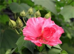 木芙蓉盆栽怎么样养殖 方法有哪些呢