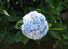 绣球花养殖小诀窍 打造别具一格家居风