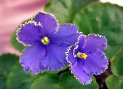 紫罗兰养殖小诀窍 让家居风景更独特