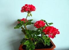 天竺葵养殖小诀窍 让家居更生香
