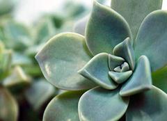 宝石花的种植方式 想养好花必看