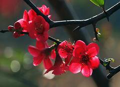 红海棠花的正确养殖方法 小白攻略