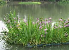 水生植物养殖要注意哪些 养护要点要知悉