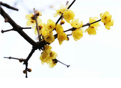 蜡梅盆栽怎么养 粗枝大叶不可有