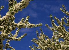  怎么种植八棱海棠树 掌握方法很关键
