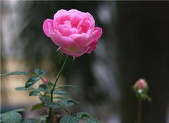  蔷薇花怎么种植好 实用贴推荐