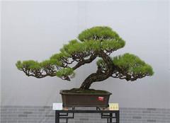 马尾松盆栽怎么修剪好 专业护理人员的建议