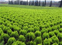  苗木雨季农药怎么使用 万万不可大意马虎