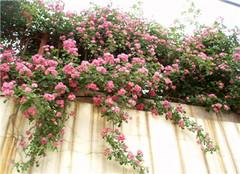  夏季花卉缺水怎么办 为什么会缺水呢