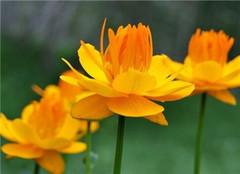  盆栽植物金莲花怎么养好 造型美观没话说