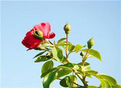  月季常见病害有哪些 怎么防治呢