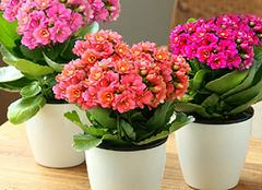 盆栽长寿花怎么养殖 献给爱养花的你