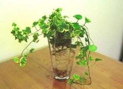 适合懒人养的水培植物,养花杀手的救星!