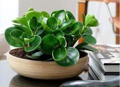 甲醛克星 吸甲醛植物中的高手有哪些