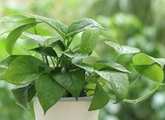 适合家养的盆栽植物推荐,浇太多水也不会有问题!