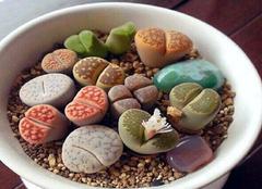 多肉植物生石花养护要点,让你更懂它!