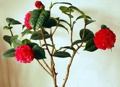 盆栽茶花的正确养护方法 家中有它要注意