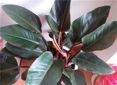 盆栽植物红帝王蔓绿绒繁殖方法有哪些