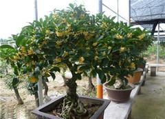 桂花盆栽养殖选择什么盆好 你的家盆都选对了吗