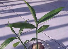  生姜盆景有哪些制作流程 水培的你见过没有