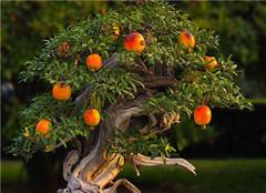 制作石榴盆景 有哪些常见的方法值得借鉴
