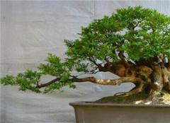 如何制作黄杨盆景 哪种常见的方法更方便呢
