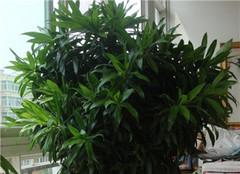 百合竹盆栽怎么修剪好呢 常见的方法要了解