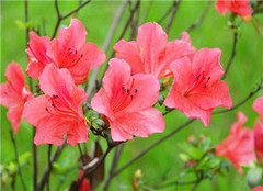 杜鹃花为什么不开花 有哪些原因呢