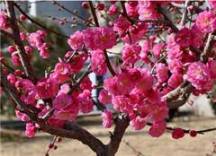  榆叶梅盆景怎么修剪好 有哪些方法呢
