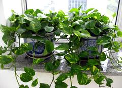 绿萝植物不长藤的原因是什么 终于搞明白了