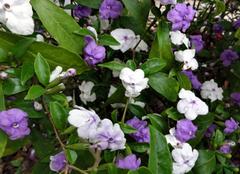 鸳鸯茉莉植物养殖的注意要点有哪些  花语更露骨