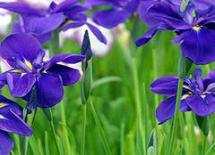 非洲紫罗兰如何盆栽养殖 技巧方法GET起来