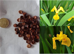  蝴蝶兰播种繁殖的注意事项有哪些 我们怎么做好