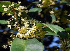 四季桂叶子发黄的原因有哪些 怎么么办