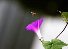  盆栽牵牛花有哪些常见繁殖方法 怎么养殖好呢