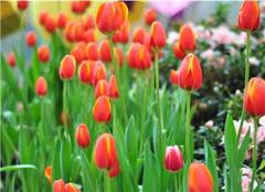  郁金香怎么养才能开花 有什么方法能够借鉴呢