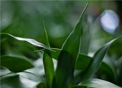  富贵竹怎么养才能长的旺 有哪些方法呢