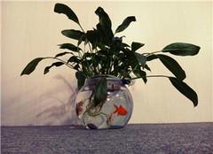  水培的白掌不开花怎么办 有什么解决方法呢