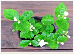 茉莉花盆栽养殖有哪些注意点 要怎么做