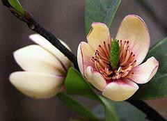 含笑花的正确养殖方法 这样养最吸引人