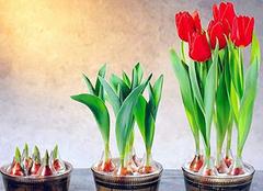 盆栽郁金香应该怎么养殖 把最美的留住