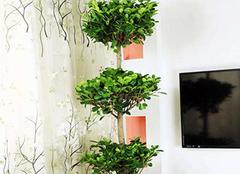 盆栽摇钱树正确养殖方法 这样才能招财