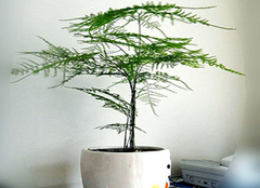 怎样为家中文竹做一次美容 修剪也可以很简单