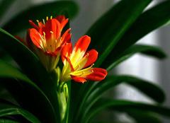 珍贵植物君子兰的正确养殖方法