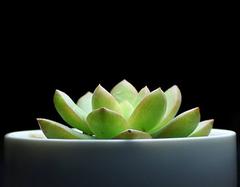 软萌的多肉植物黄丽萌翻全场 养殖黄丽技巧盘点