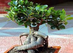 家中榕树盆景如何修剪 多种方法哪个才最适合你呢