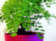 铁线蕨如何才能更好养殖 这几点技巧你是否知道