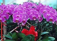 养殖蝴蝶兰有哪些技巧 正确方法GET起来